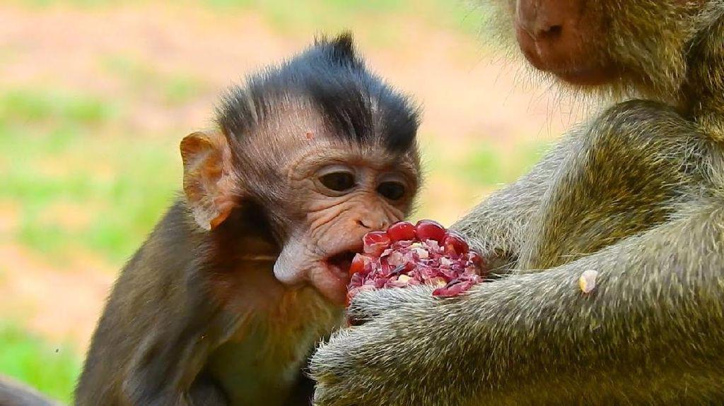 Mirip Manusia, Monyet Berbagi Makanan Untuk Tunjukkan Cinta