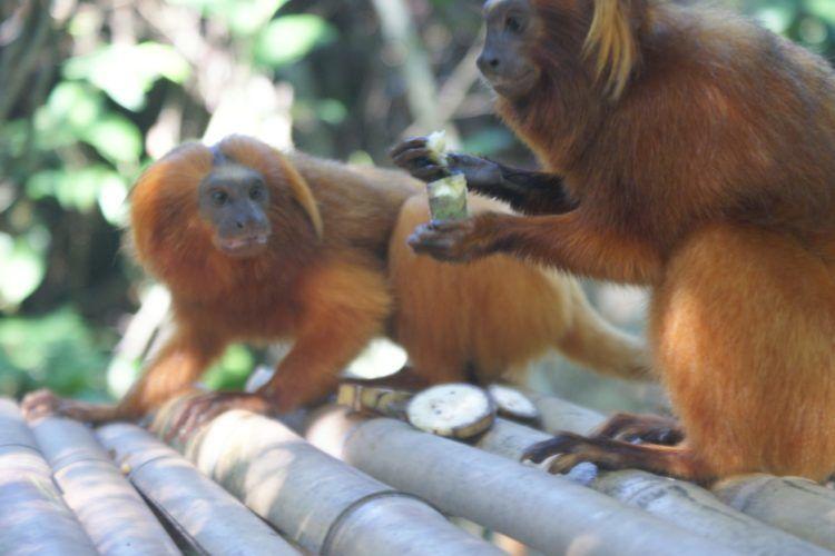Monyet Berbagi Makanan Untuk Tunjukkan Cinta