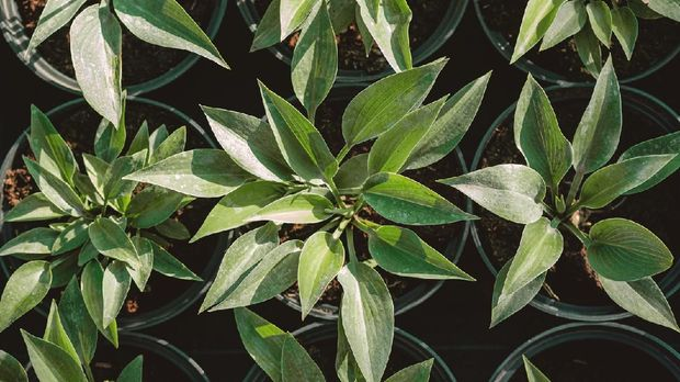 Hosta leaves pattern background. Bushes of the Hosta plant in pots for transport in a gardening store. Hosta - an ornamental plant for landscaping park and garden design. Summer plants wallpaper.