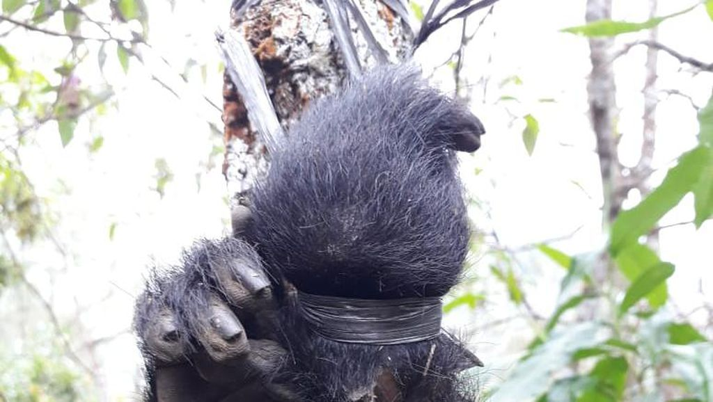 Miris, Jasad Lutung Jawa Korban Perburuan di Malang Hanya Tinggal Kaki