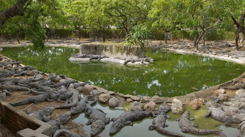 Taman buaya Madras Crocodile Bank di India