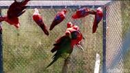 144 Burung-Kadal Korban Perdagangan Ilegal Dilepasliarkan di Maluku