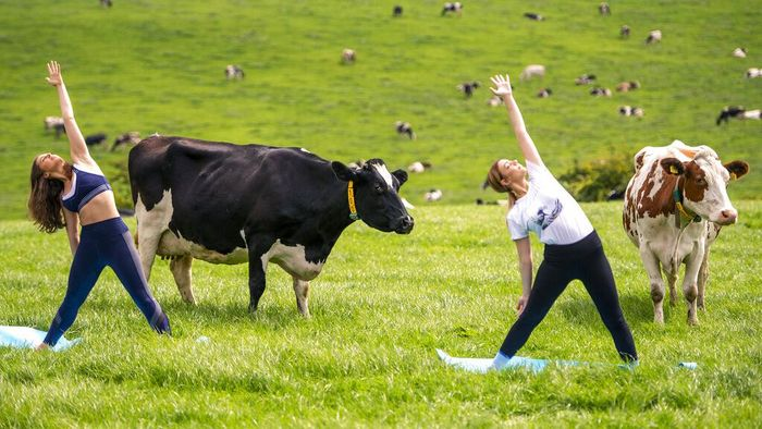 Dairy cows graze in a field as Yoga instructor Titannia Wantling, left, leads yogis in the first ever Cow Yoga session at Paradise Farm in Leyland, Lancashire, as a free-range yogurt brand launches the classes to encourage people to get motivated to exercise outdoors, in Skipton, England, Wednesday, Aug. 12, 2020. (Anthony Devlin/PA via AP)