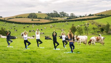 Yoga di Tengah Peternakan Sapi, Bisa Kok