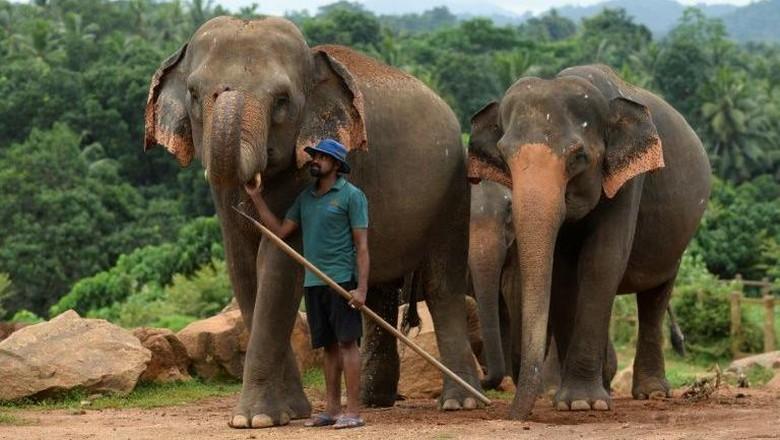 Gajah di Sri Lanka (AFP Photo)