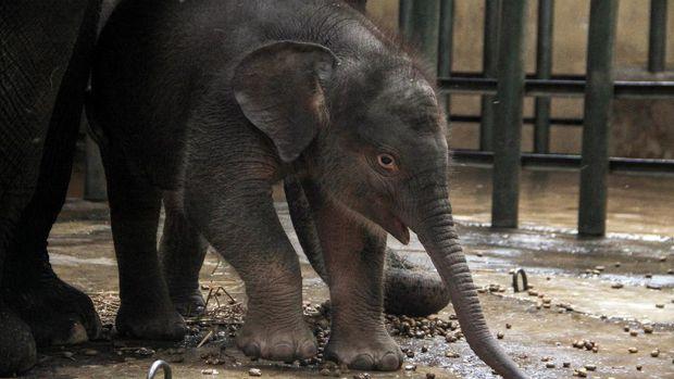 Seekor bayi gajah sumatera (Elephas maximus sumatrensis) berkelamin betina memakan rumput di kandang Taman Safari Prigen, Pasuruan, Jawa Timur, Rabu (12/8/2020). Bayi gajah yang lahir pada 14 Juli 2020 dengan berat 80 kg dan tinggi 85 cm tersebut lahir dari indukan betina bernama Siska dan pejantan bernama Wahid tersebut menambah koleksi gajah Sumatera di taman itu menjadi 20 ekor. ANTARA FOTO/Umarul Faruq/aww.