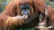 Ini Nanda, Bayi Orangutan yang Baru Lahir di Pasuruan