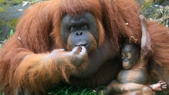 Seekor bayi orangutan Kalimantan (Pongo Pyhmaeus) berkelamin betina bernama Nanda bersama induknya di kandang Taman Safari Prigen, Pasuruan, Jawa Timur, Rabu (12/8/2020). Bayi orangutan yang lahir pada 11 Maret 2020 secara normal tersebut lahir dari indukan betina bernama Naning dan pejantan bernama Bima menambah individu orangutan di taman itu menjadi 22 ekor. ANTARA FOTO/Umarul Faruq/foc.