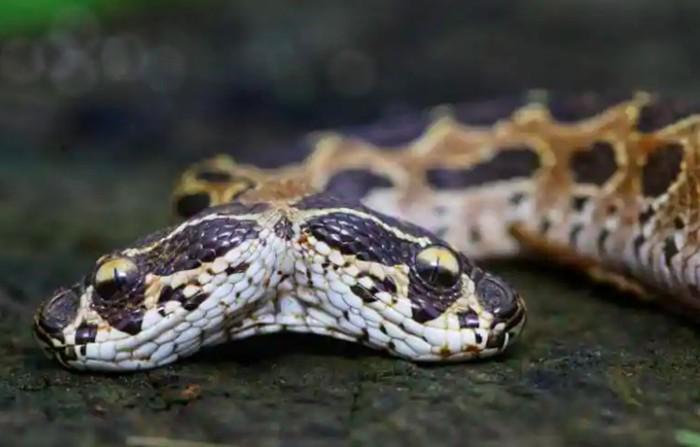 ular kepala dua