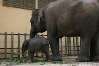 Bayi gajah tersebut berjenis kelamin betina dan belum diberi nama. (Muhajir Arifin/detikcom)
