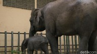 Selamat! Seekor Bayi Gajah Sumatera Lahir di Taman Safari Prigen
