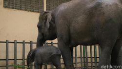 Selamat! Seekor Bayi Gajah Sumatera di Taman Safari Prigen