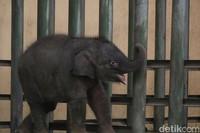 Adanya bayi gajah ini menambah jumlah gajah di Taman Safari Prigen menjadi 20 ekor. (Muhajir Arifin/detikcom)