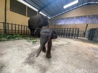 Bayi gajah lahir dengan berat 80 kilogram dengan tinggi 85 cm. (Muhajir Arifin/detikcom)