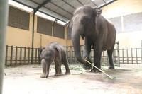 International Union for Conservation of Nature (IUCN) telah menaikkan 'kelas' gajah Sumatera sebagai spesies yang kritis atau critically endangered, setelah sebelumnya spesies ini masuk ke dalam kelas endangered atau terancam. (Muhajir Arifin/detikcom)