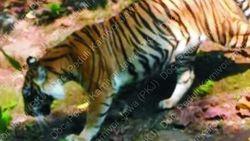 Peneliti: Harimau Jawa Dijumpai di Hutan Angker Jateng
