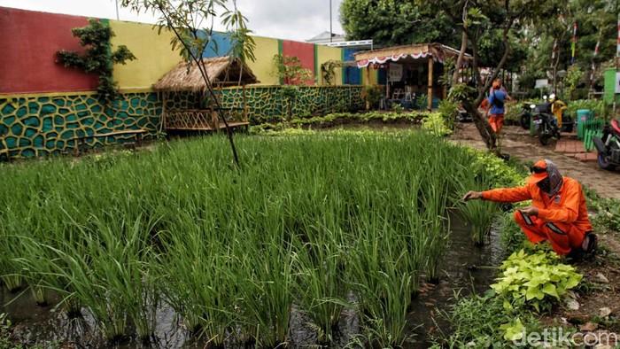 Lahan kosong seluas 3.000 meter persegi di kawasan Rawa Badak Selatan, Jakarta Utara, disulap menjadi lahan pertanian yang sangat asri. Penasaran?
