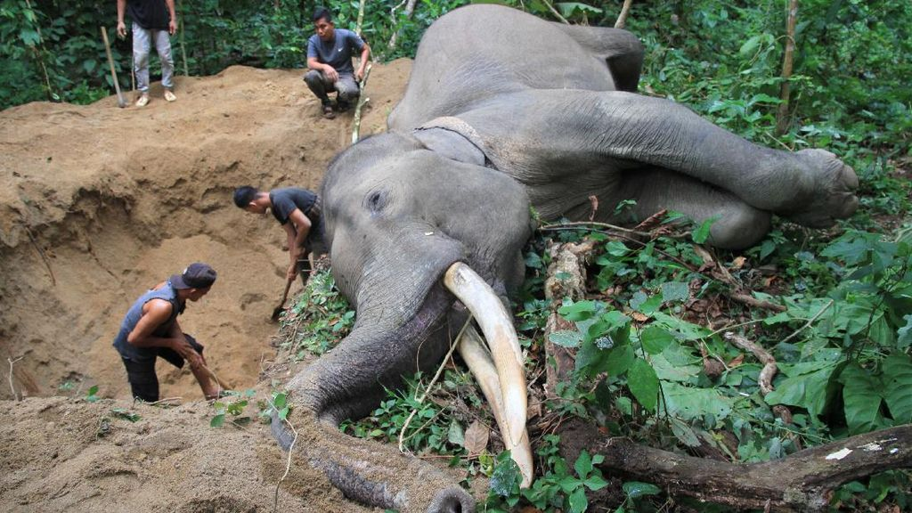 Kasihan, Gajah Jantan Ini Mati Mendadak