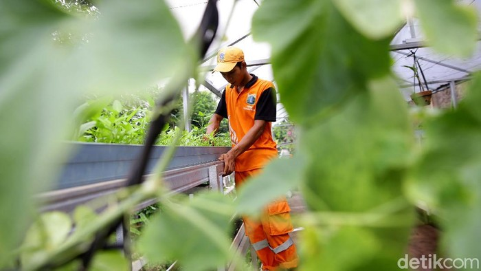 Selain bekerja menjadi petugas PPSU Dhamiri (28) juga manfaatkan lahan di tengah Ibu Kota untuk jadi petani. Hasil panennya kerap dijual kepada warga sekitar.