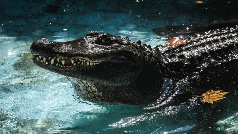 Muja, Aligator tertua di dunia