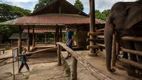 Saat pendapatan mahout menguap, lebih dari 100 gajah dikembalikan ke desa asal mereka di pegunungan dekat Chiang Mai dengan harapan menemukan lahan pertanian untuk mendukung 200 kilogram makanan yang dibutuhkan setiap gajah dewasa setiap hari.