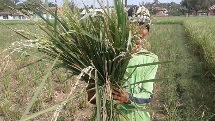 Ratusan hektare sawah di Kabupaten Pantura, Ciasem, Subang, Jawa Barat diserang hama tikus. Ganasnya serangan hama membuat tanaman padi rusak dan terancam gagal panen.