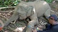 Kasihan! Anak Gajah Liar di Aceh Terperangkap Jerat 4 Bulan Lamanya