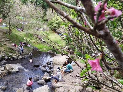 Menikmati Bunga Sakura di Asia Tenggara, Indonesia Juga Ada!
