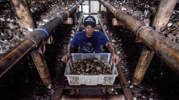 Pekerja memanen jamur merang di Rumah Budidaya Jamur Himpunan Petani dan Peternak Milenial Indonesia, Bogor, Jawa Barat, Selasa (18/8/2020). Jamur merang yang biasa digunakan untuk bahan baku kuliner itu dipatok dengan harga Rp35.000 per kilogram dan dipasarkan di Jabodetabek. ANTARA FOTO/Yulius Satria Wijaya/pras.
