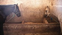 Dalam 3 bulan terakhir, sudah ada 600 ekor kuda yang telah diberi bantuan makan oleh SPANA. Beberapa pemilik kuda sampai harus menjual hewan kesayangannya itu demi menyambung hidup dan menafkahi keluarga mereka. (Mosaab El Sham/AP)