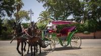 Ribuan orang di Marrakech memang menggantungkan hidupnya dari kuda delman untuk hidup. Satu kuda, bisa menopang hidup untuk 4-5 keluarga, termasuk sang pemilik, kusir kuda, hingga perawat kuda. (Mosaab El Sham/AP)