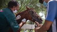 Wabah virus Corona membuat sektor pariwisata di beberapa negara kolaps, termasuk di Maroko. Kuda-kuda wisata yang biasa mengangkut turis di Marrakech, terancam mati kelaparan. Pemiliknya tidak punya pendapatan untuk memberi makan kudanya. (Mosaab El Sham/AP)