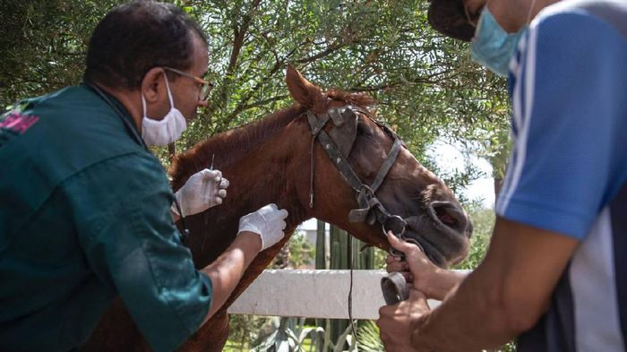 Kuda-kuda wisata di Marrakech terancam mati kelaparan