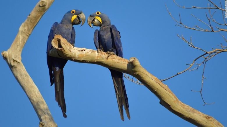 Burung Macaw biru