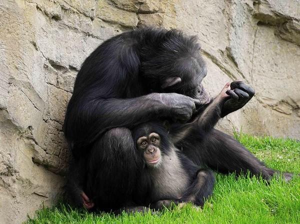 Menurut WWF, spesies Djibril terancam punah. Mereka telah hilang di empat negara, sedangkan yang hidup berada di bawah tekanan yang luar biasa di tempat dimana mereka tinggal (Bioparc Valencia)