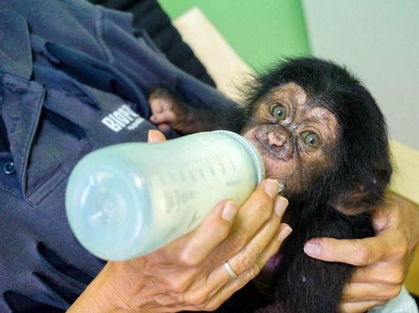 Penjaga kebun binatang mencari cara agar Djibril bisa mendapatkan perhatian dari simpanse lain. (Bioparc Valencia)