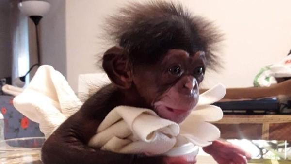 Dia hidup di kebun binatang di Malaga, Spanyol. Induknya adalah seekor simpanse yang sering tampil dalam sirkus dalam didikan yang kasar. (Bioparc Valencia)