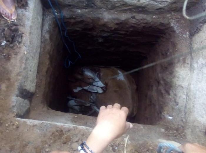 Seekor sapi betina di Situbondo jatuh ke septic tank 3 meter. Sapi simmental milik Rahmad (30) itu terjerembab saat terkepas.