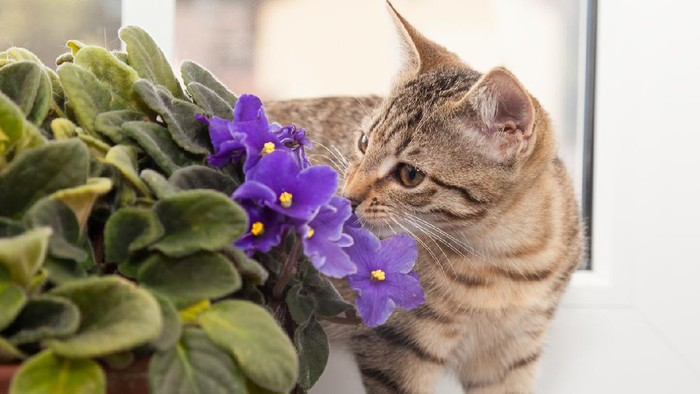tabby kitten sniffling at african violet flower