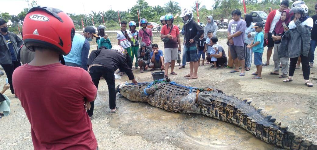 Buaya di Mamuju Tengah ditangkap warga (dok. Istimewa).
