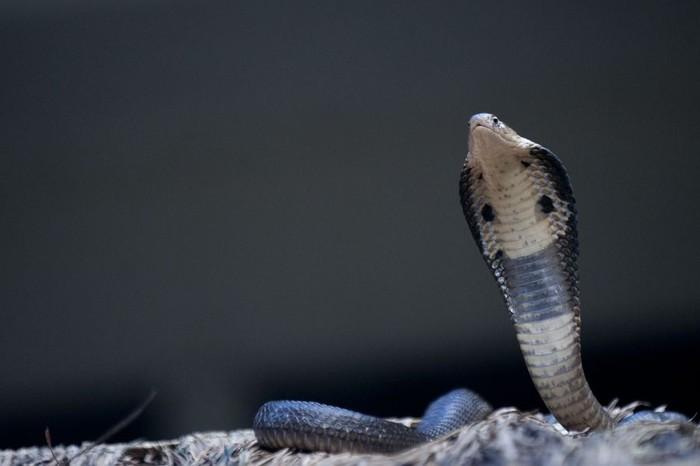 Peternak ular dan tikus gulung tikar