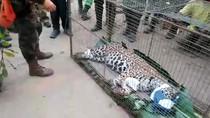 Seekor Jaguar Dievakuasi dari Kebakaran Hutan di Brasil