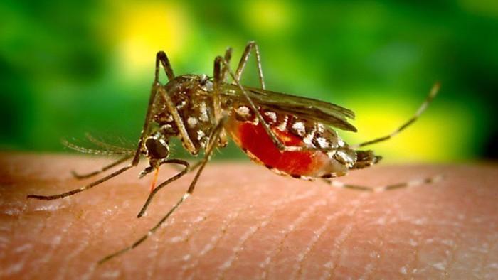 Nyamuk Florida: 750 juta serangga yang direkayasa genetika akan dilepas untuk mengurangi penyakit