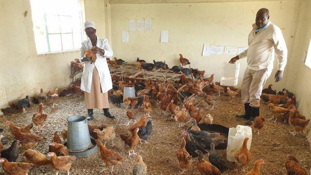 Corona Bikin Sekolah di Kenya Berubah Jadi Peternakan Ayam