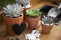 Closeup of assorted succulent plants and clay pots on garden bench ready for planting season.