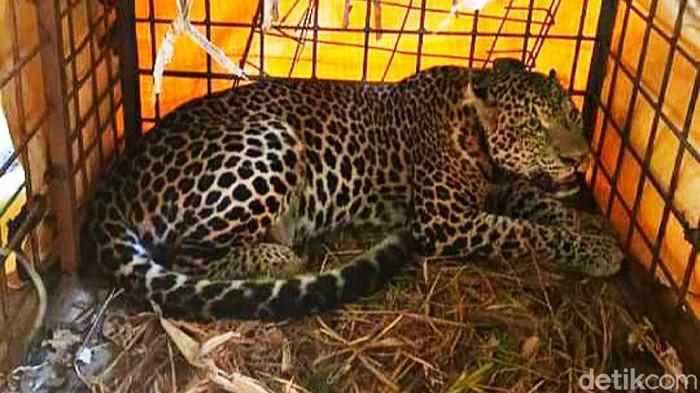 Balai Besar Konservasi Sumber Daya Alam (BBKSDA) Jawa Barat melepasliarkan atau rilis macan tutul 'Si Abah' di Suaka Margasatwa (SM) Gunung Sawal Ciamis.