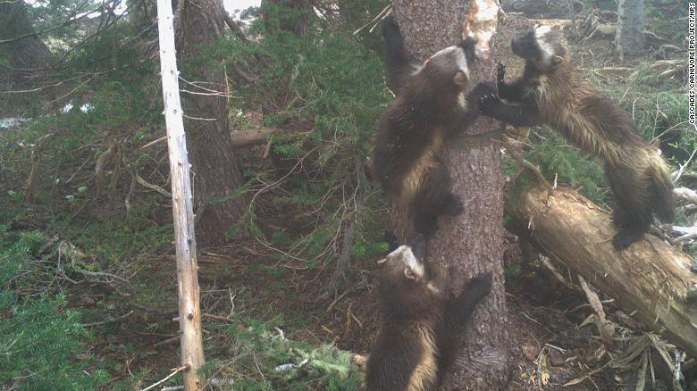Wolverine atau beruang mini di Taman Nasional Gunung Rainier