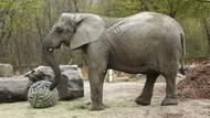Gajah Stres di Polandia Jadi Hewan Percobaan untuk Penelitian Ekstrak Ganja