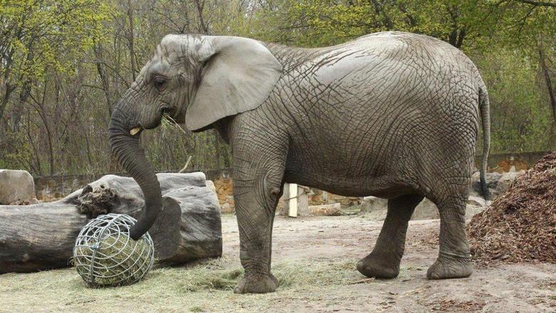 Gajah stres di Polandia jadi hewan percobaan untuk penelitian minyak ekstrak ganja