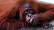 Kasihan, Orangutan Ini Dirantai Selama 3 Tahun Lho